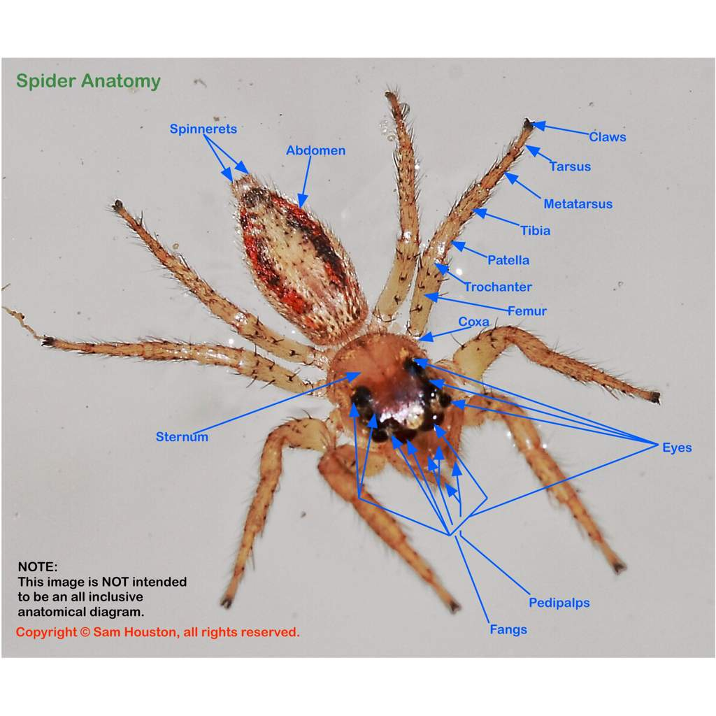 Fancy The Anatomy Of A Spider Ideas - Human Anatomy Images ...