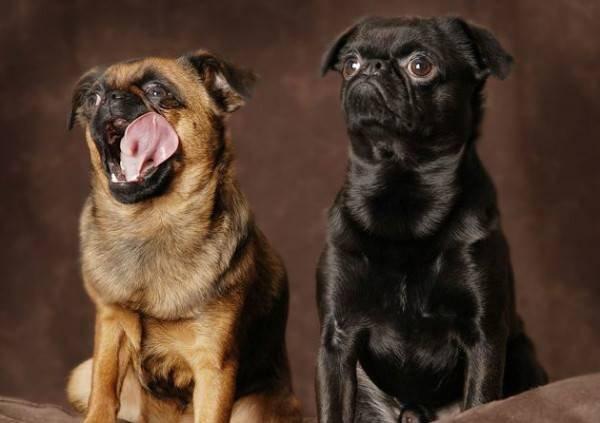брабансон фото собака взрослый