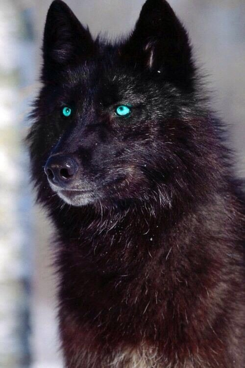 Baby Wolf With Blue Eyes