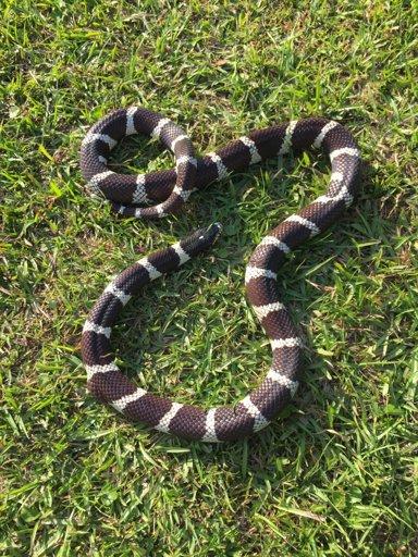 Abby the snake | Snake Amino Amino