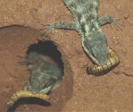 Jones Armadillo Lizard care guide | Wiki | Reptiles Amino