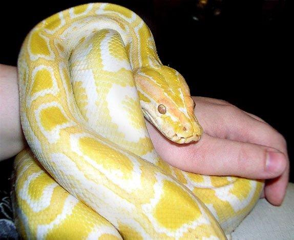 Day 26 Do Big Snakes Make Good Pets Reptiles Amino
