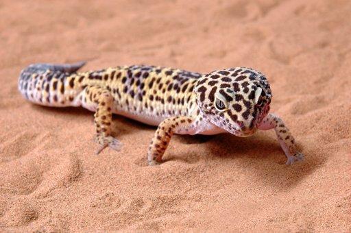 Leopard Gecko Shopping List | Wiki | Reptiles Amino