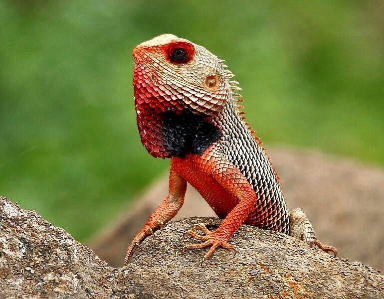 etie eie t on instagram the oriental garden lizard eastern garden lizard or changeable lizard calotes versicolor - Garden Lizard
