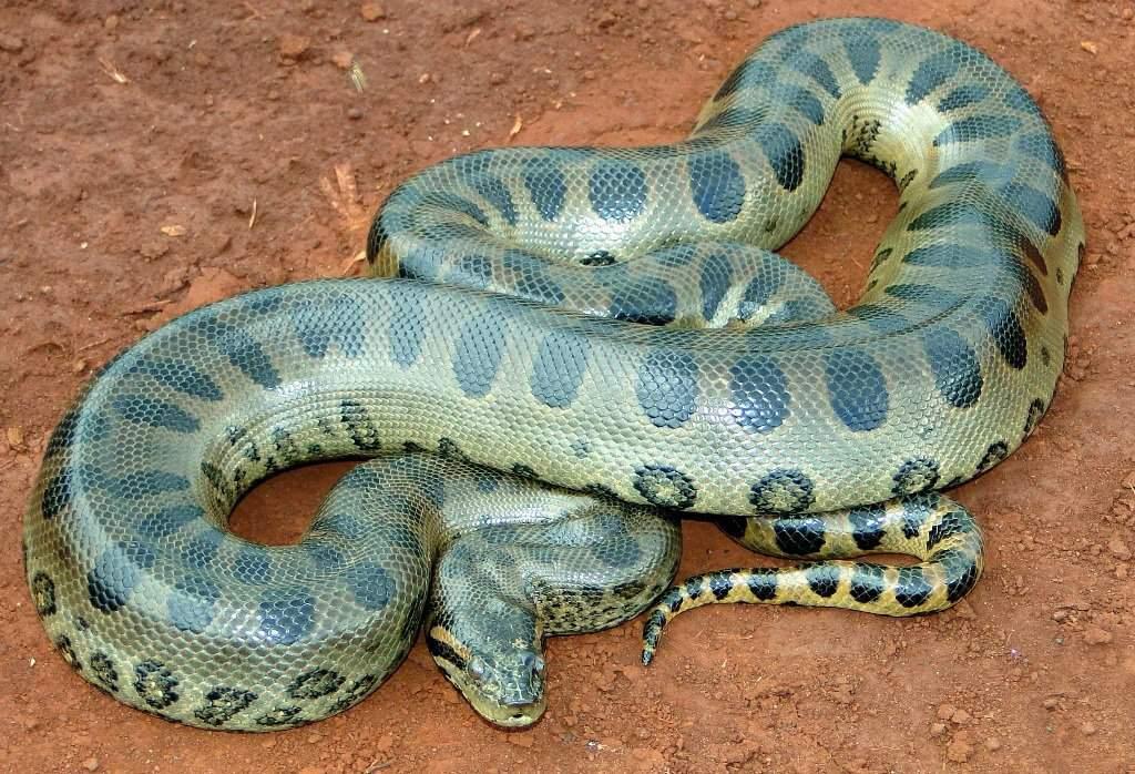 картинки толстых змей самые