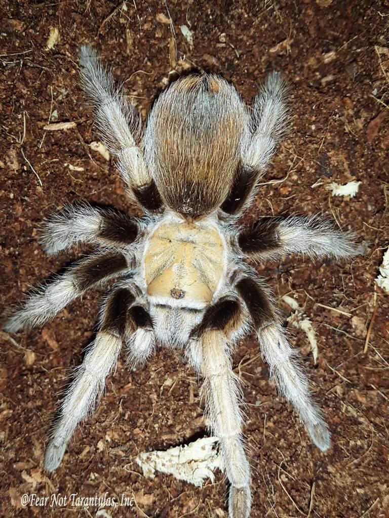 Arizona Blonde Care Wiki Reptiles Amino
