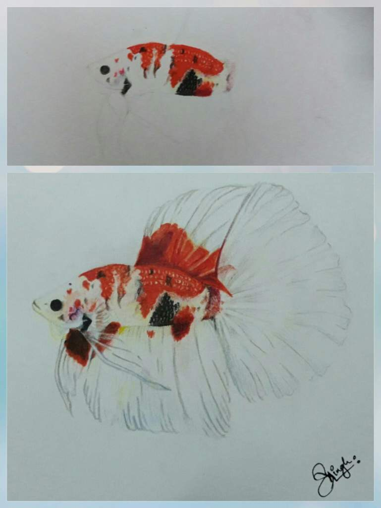 Koi Betta Drawing Made By Me Betta Keepers Amino