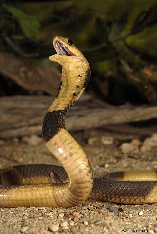 Egyptian Cobra Wild Animals Amino