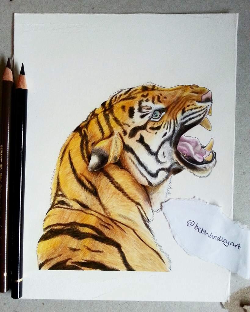 Tiger coloured pencil drawing art amino