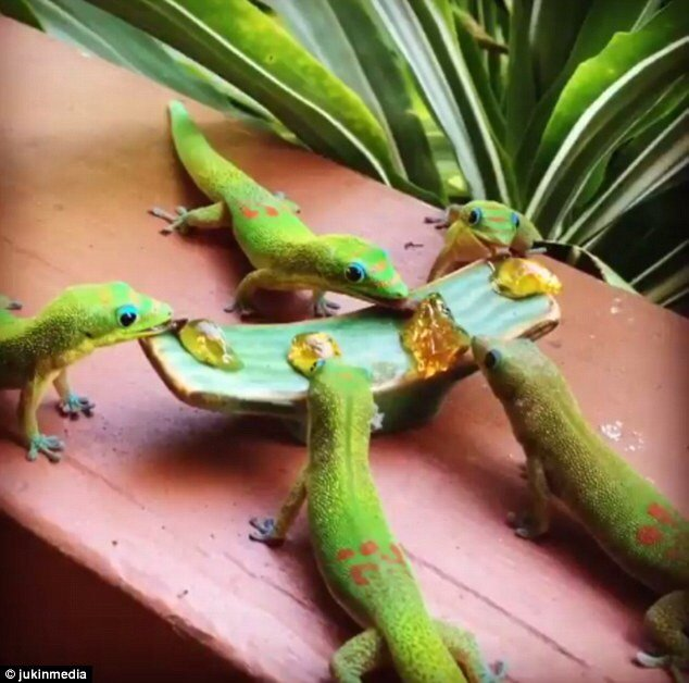 gold dust day gecko fruit diet recipes