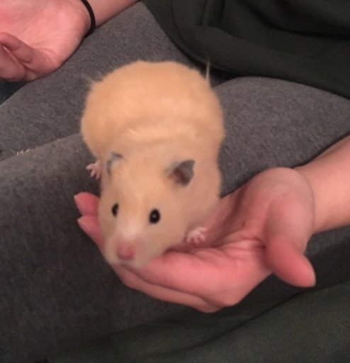 Hamster/Rodent first aid | Wiki | Hamsters! Amino