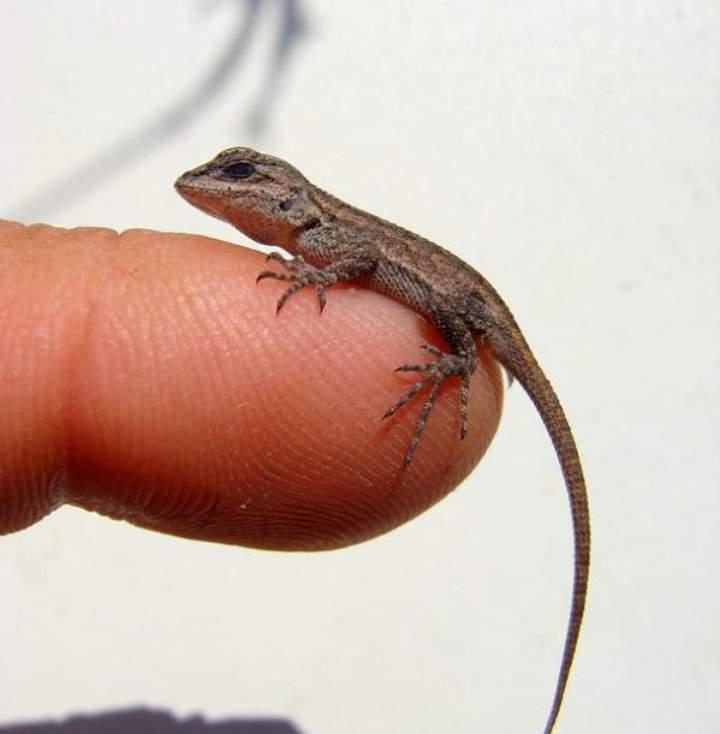 How To Care For Baby Lizards Geckos Reptiles Amino