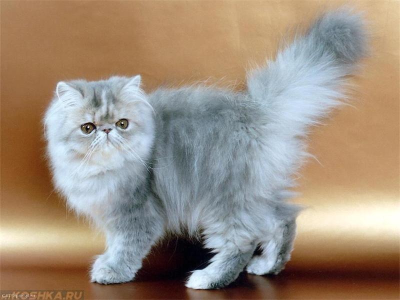 картинки кошек породистых пушистых время моего одиночества