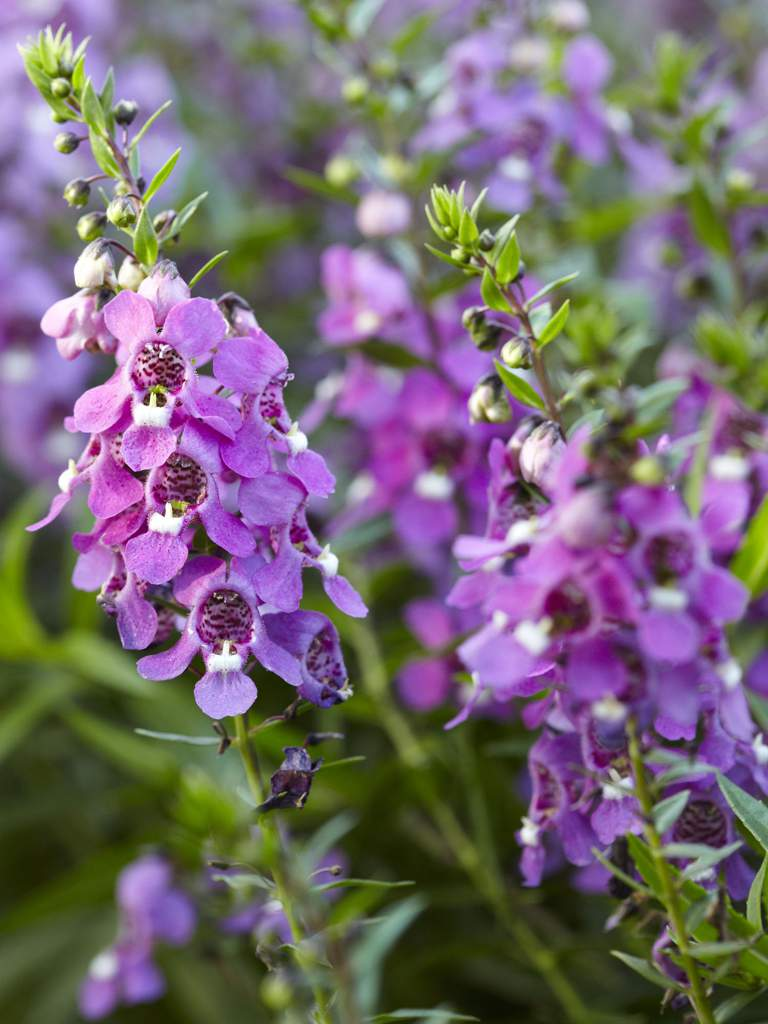The angelonia field hamilton amino the angelonia is a flower that varies in shades of blue and purple an indigo or deep violet which are common colours of the angelonia represent mystical izmirmasajfo