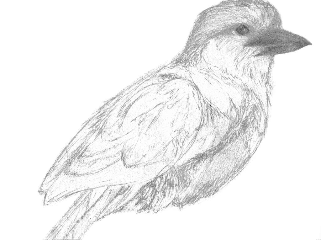 Nature Art Lilac Breasted Roller Pencil Drawing Nature Lovers Amino