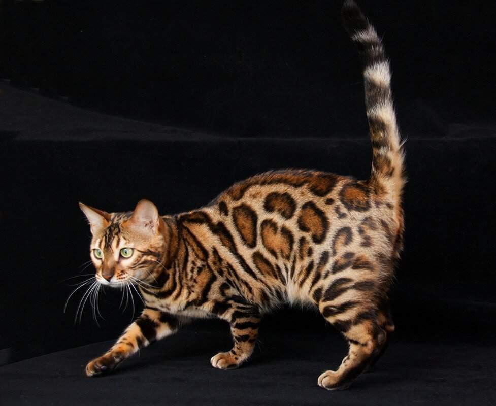 Попонки для кошек фото первого взгляда