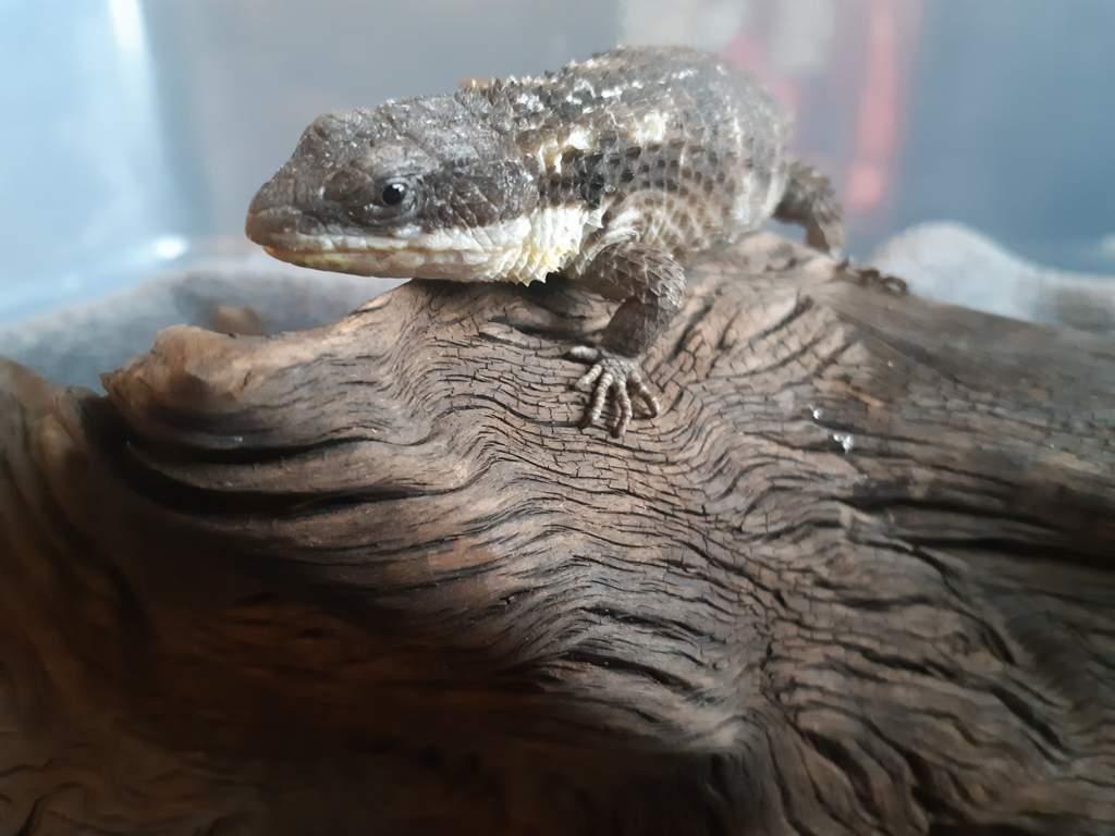 Jones Armadillo Lizard