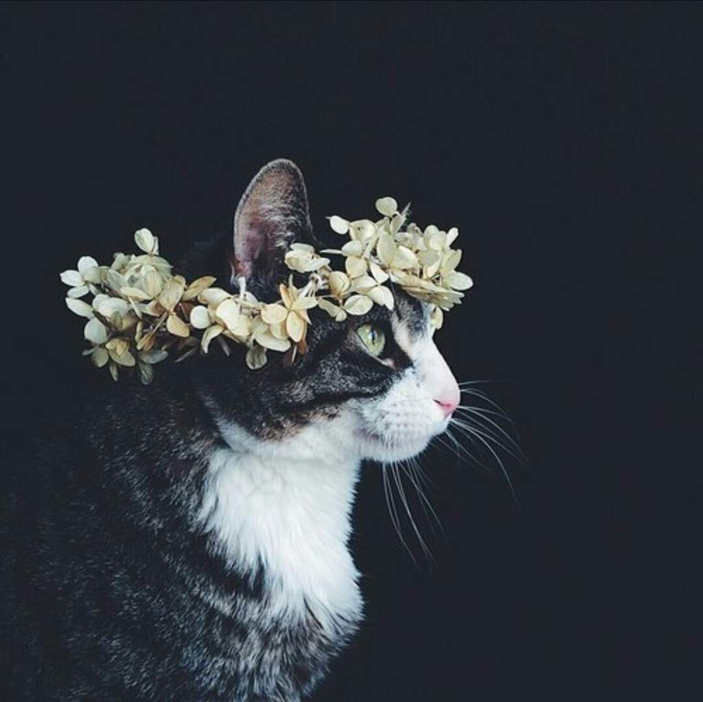 Cats with flower crowns tumblr topsimages flower crown cats au wiki hamilton amino jpg 1024x1023 cats with flower crowns tumblr izmirmasajfo