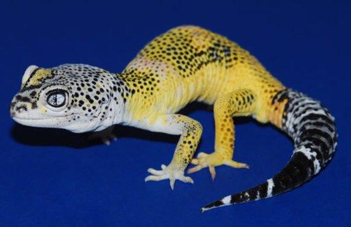 Halloween Mask Leopard Gecko.Morph Guide For Leopard Geckos Wiki Reptiles Amino