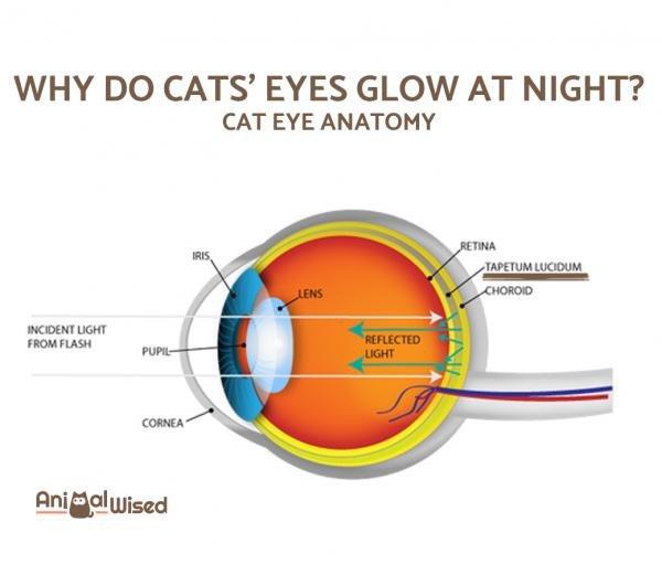 Why Cats Eyes Glow Cats Amino