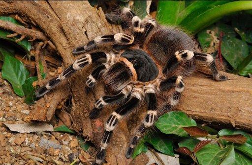 Brazilian White Knee Tarantula   Wiki   Reptiles Amino