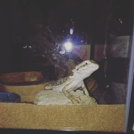 Which name (bearded dragon) | Reptiles Amino