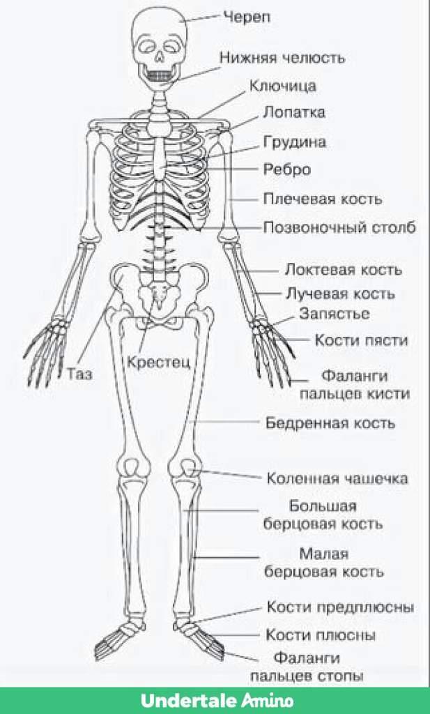 образом, схема костей человека среди всех кораблей