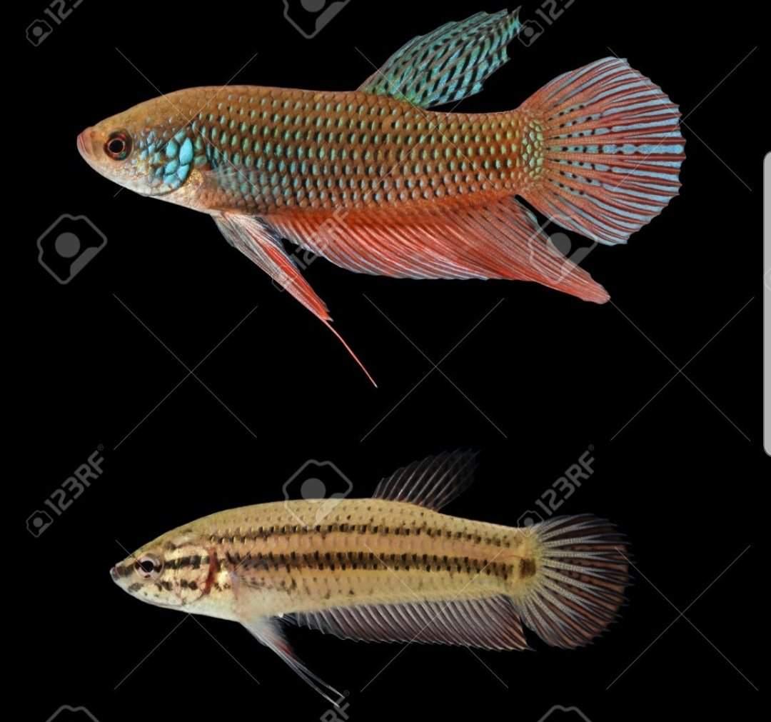 Betta Fish Care Guide Wiki Reptiles Amino