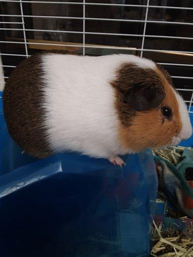 Guinea Pig Health: Bumble Foot | Wiki | Guinea Pigs 🐹 Amino