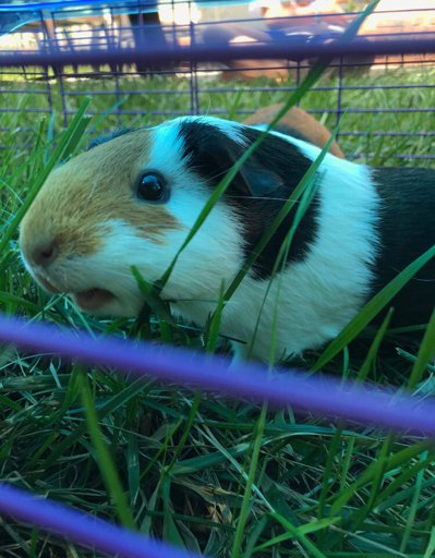 Bumblefoot Treatment Guinea Pig