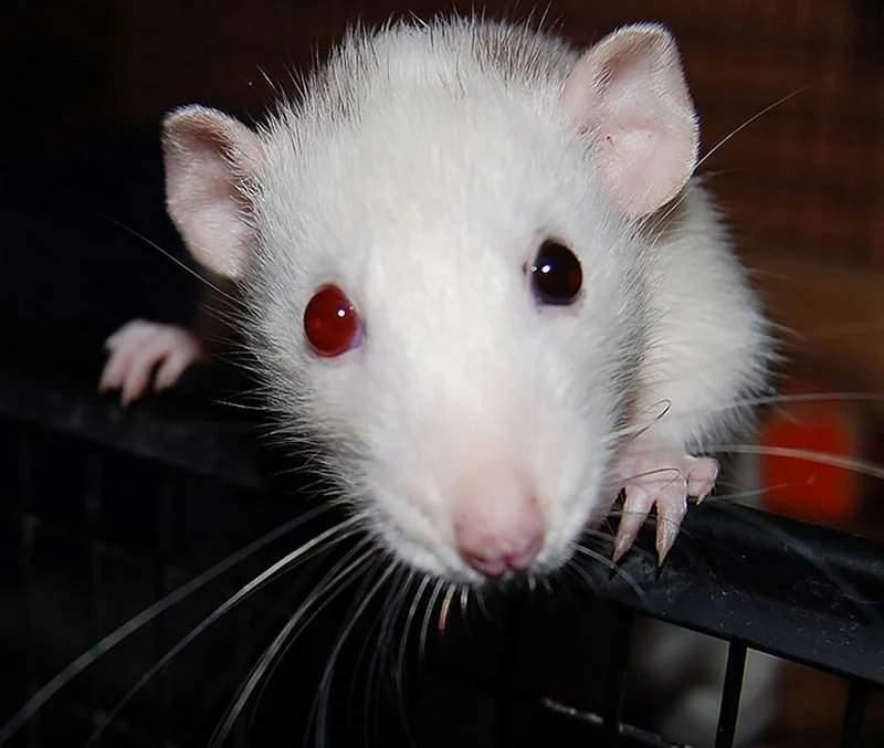 цвет глаз рубин у крыс фото других случаях занятие