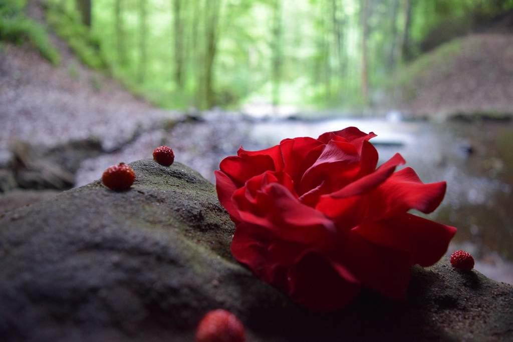 фото красивый розы в лес неелова была
