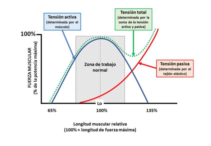 Músculo Relación Longitud -Tensión | Salud & Fitness Amino Amino