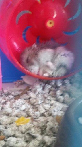 Hamster | Hamsters! Amino