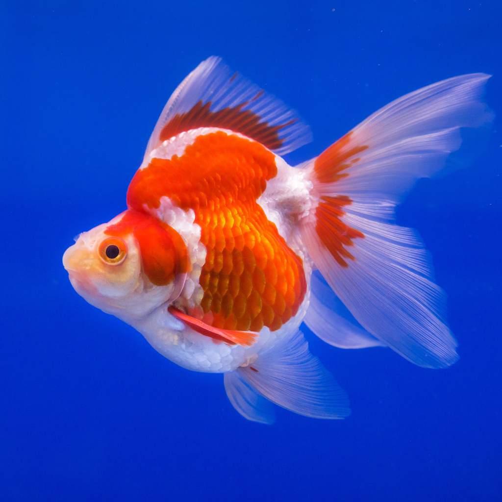 Goldfish Wiki Fishkeepers Amino Amino