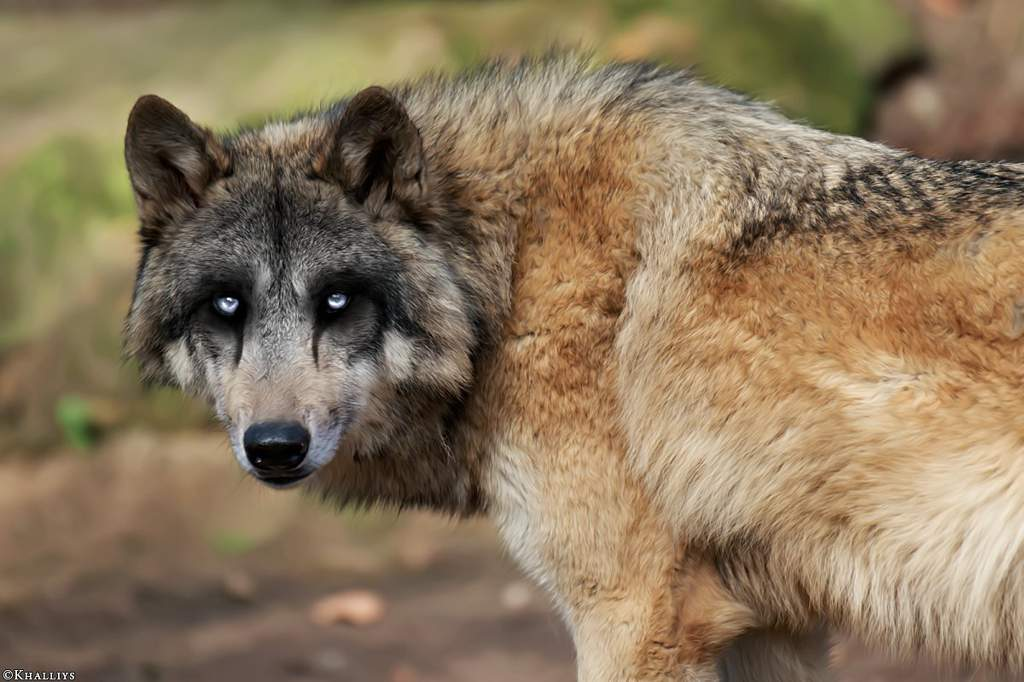 виды волков список и фото узлы даже здоровых